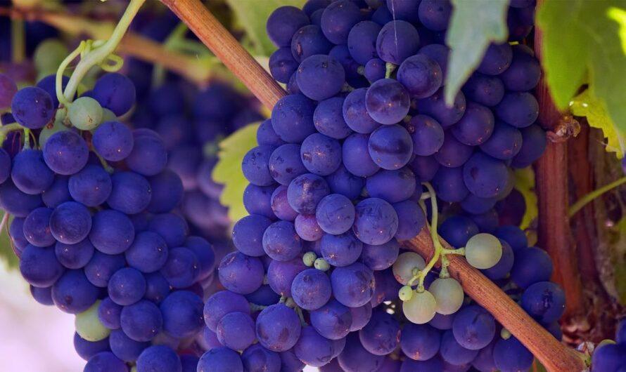 Три причины есть виноград каждый день