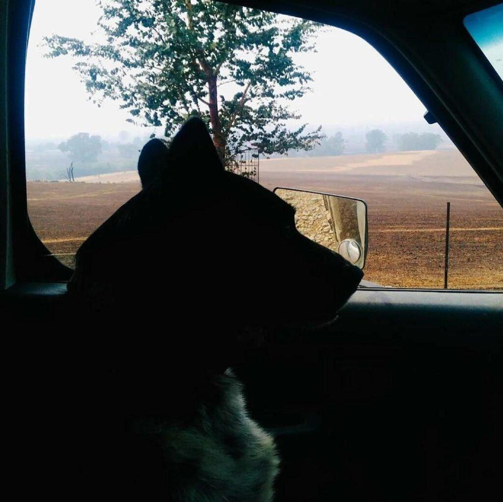 Хвостатый спасатель: в Австралии собака уберегла 900 овец от лесных пожаров