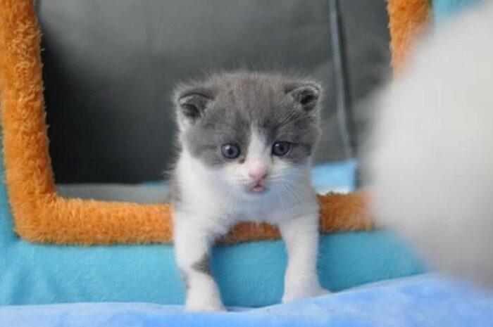 Знакомьтесь, это Чеснок – первый клонированный котенок, появившийся на свет в Китае