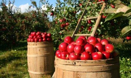 20 интересных фактов о яблоках